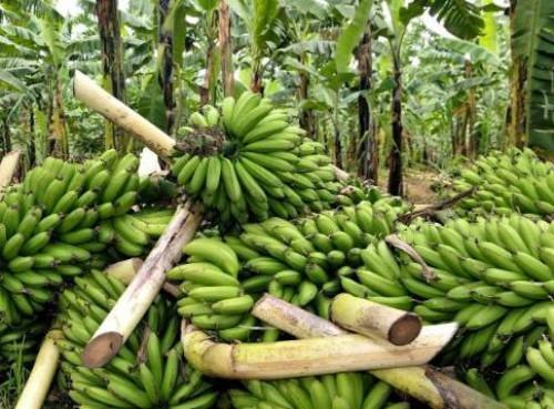Cameroon: CDC exported lowest banana volume in 13 years, in August 2018