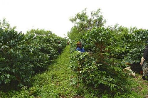 Cameroon offers bags of fertilizers to boost coffee production in the Northwest