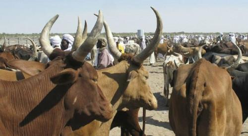 Cameroon: Boko Haram has stolen CFA3bn worth of cattle since 2013 (World Bank)