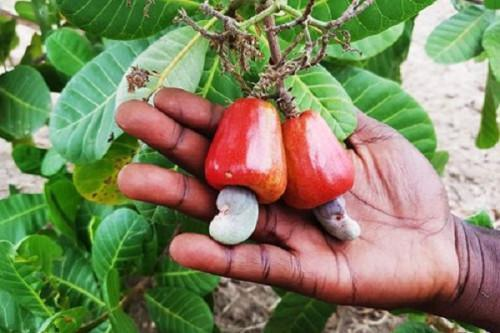 IRAD distributes 300 k cashew seedlings in Bertoua to boost production