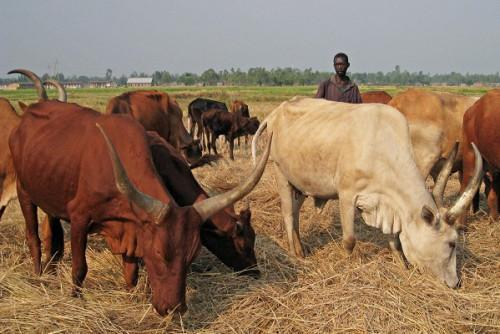Cameroon: 6th edition of livestock fair to be held on Nov 8-10 in Ngaoundéré