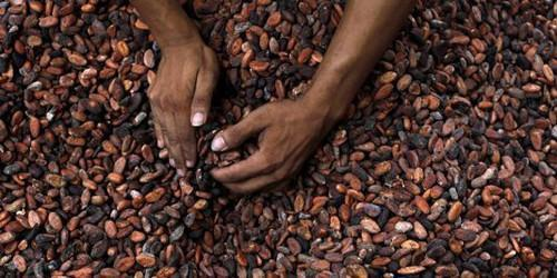 Cameroon: Cocoa minimum farm gate price reached CFA950 thanks to sector reorganization
