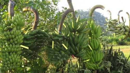 An open letter calling African producers for a fair price of banana to the supermarkets