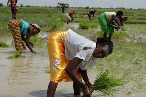 Cameroon seeks investors for large rice-growing project in the Far-North