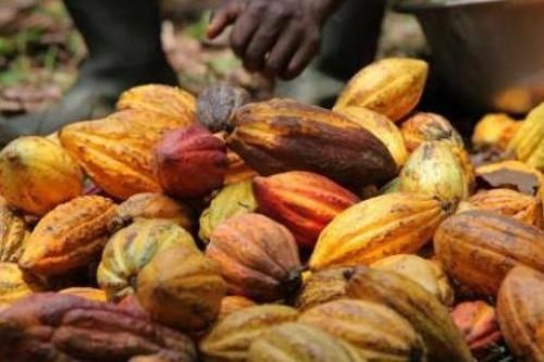 Cameroon: Cocoa farm gate price exceeds XAF1,000 per kg, as wet season approaches
