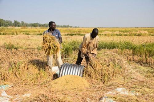 Cameroon: Scet Tunisie-Coba wins XAF1.8 bln contract to rehabilitate rice fields in the Far North