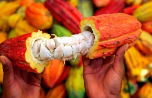Cameroon launches registration for cocoa quality premium selection for the 2017-2018 season