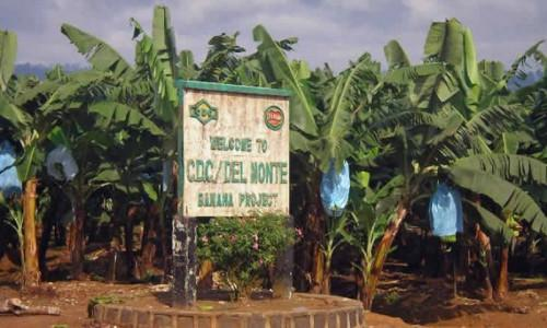 Cameroon plans to boost its banana production with CFAF29 bln support to CDC