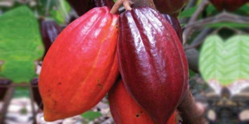 Cameroon could lose 60,000 to 100,000 tons of cocoa in 2018-19, due to Anglophone crisis (Gicam)