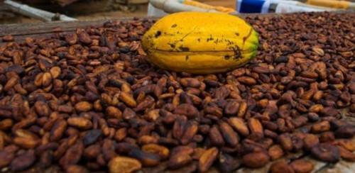 Cemac: Cocoa export prices shrunk below XAF1,000/kg at the end of 2018