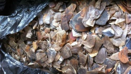 Four smugglers arrested with 300 kg of ivory and 2.5t of pangolin scales in Douala