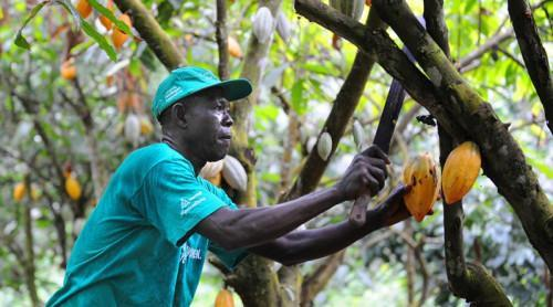 Cameroon to disburse XAF50 bln to boost cocoa-coffee production in the coming 5 years