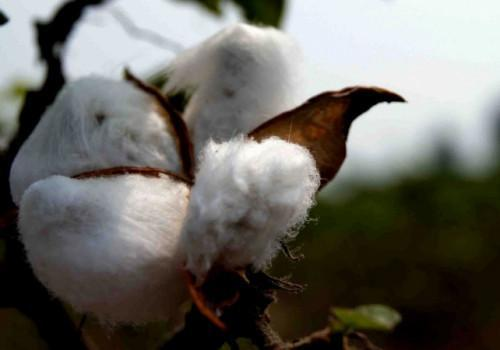 Sodecoton revokes decision to use GMO cotton to boost output