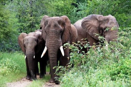 Cameroon: 14ha of millet fields destroyed by elephants in the Far North