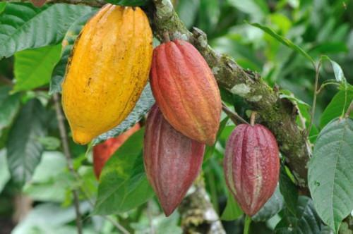 Fitch Solutions raises 2018-19 Cocoa Output Forecasts to 245,000t from 170,000t, despite unrest