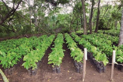 Cameroon loses 40 to 50% of its cocoa seedlings to climate change every year (SODECAO)