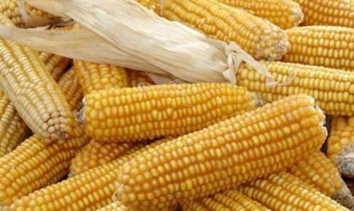 Cameroon: Bankim Agri-food park launched with a yearly 3,500 tons of corn production promise