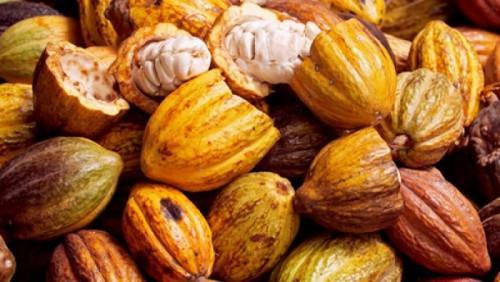 Cameroon: Cocoa price slightly down by XAF20 this week