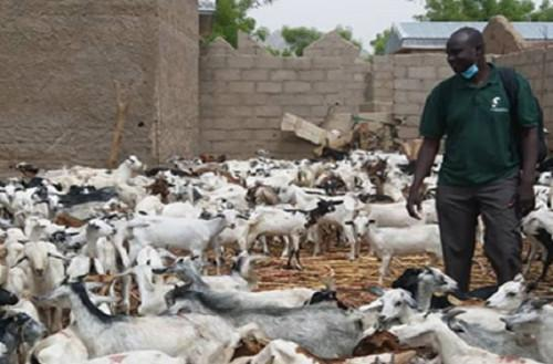 Cameroon : Prodel donates 2,000 small ruminants in the Far-north to help replenish the stock destroyed by Boko Haram