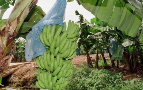 Cameroon's banana exports dropped by 27,000 tons during S1, 2018 (Assobacam)