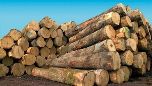 Greenpeace denounces the sale of 3,000 m3 of illegal logging in Cameroon