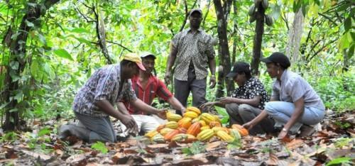 Cameroon: New Generation Program helped plant 1533 ha of cocoa since 2012