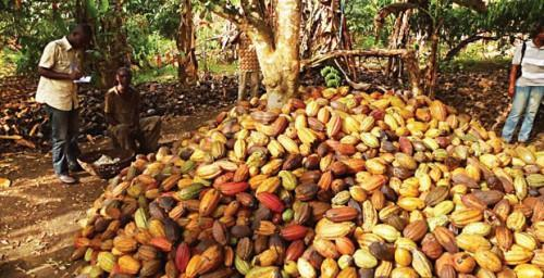 Cameroon: Cocoa farm-gate price increased to CFA1,250 during the 2017-18 mid-crop