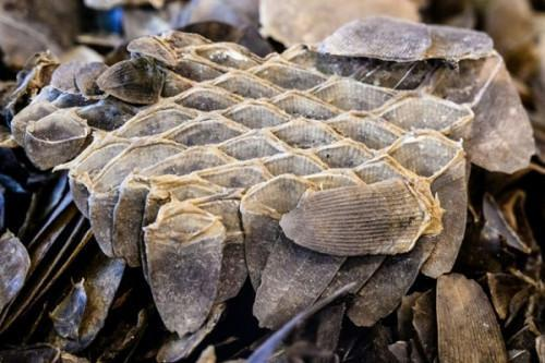 Cameroon : 600 kg of pangolin scales and 200 red-tailed parrots seized in Douala