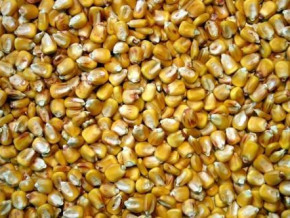 cameroon-distributes-13-tons-of-improved-corn-seeds-in-lokoundje