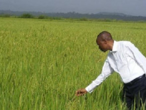 cameroon-to-purchase-a-rice-husking-unit-for-farmers-in-the-northwest