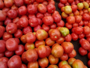 cameroon-plans-a-revival-plan-for-the-tomato-sector-affected-by-border-closure