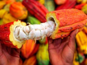 cameroon-launches-registration-for-cocoa-quality-premium-selection-for-the-2017-2018-season