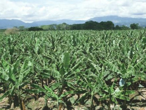 cameroon-government-to-cover-10-of-producers-plantain-banana-seedlings-need-this-year