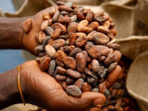cocoa-prices-stay-above-xaf1-010-for-20-days-in-a-row-in-cameroon