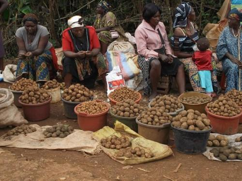 80-of-cameroon-s-potato-production-comes-from-the-west-and-northwest-giz-procisa