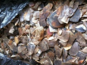 four-smugglers-arrested-with-300-kg-of-ivory-and-2-5t-of-pangolin-scales-in-douala