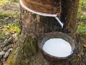 rubber-production-revival-of-economic-demand-could-stimulate-local-production-in-q4-2021-despite-cdc-s-woes-beac