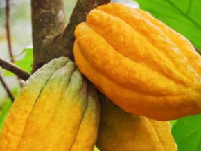 228ha-of-new-cocoa-farms-expected-to-be-created-in-the-cameroonian-central-region-under-the-new-generation-project