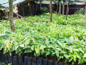 cameroon-to-distribute-6-mln-cocoa-seedlings-to-producers-this-year