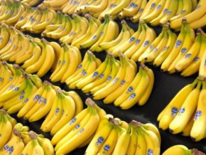 cameroon-despite-cdc-s-activity-shutdown-banana-exports-have-been-more-dynamic-in-2019-than-in-2018