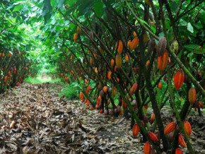 cameroon-at-least-225-hectares-of-cocoa-trees-to-be-grown-in-the-coastal-region-in-the-coming-three-years