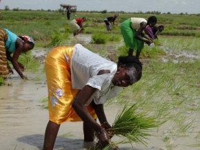cameroon-about-4-000-additional-hectares-of-rice-plots-arranged-in-the-far-north