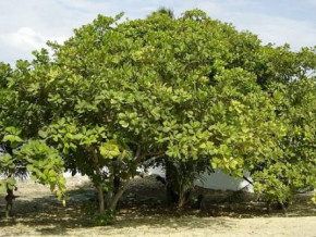 cameroon-to-plant-1-250-cashew-seedlings-in-sanguere