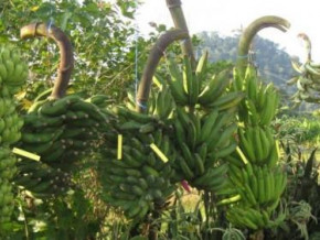 an-open-letter-calling-african-producers-for-a-fair-price-of-banana-to-the-supermarkets