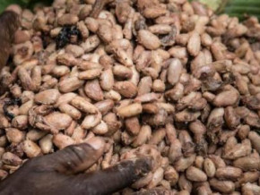 cameroon-cocoa-price-drops-to-just-over-xaf900-per-kg-after-having-reached-xaf1-000-in-october-2018
