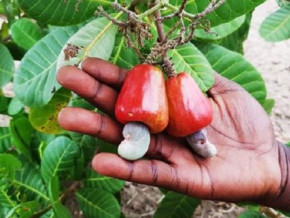 irad-distributes-300-k-cashew-seedlings-in-bertoua-to-boost-production