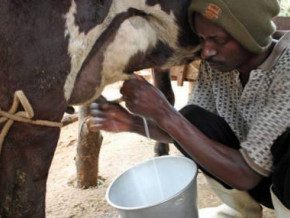 cameroon-weak-genetic-performance-of-cows-stagnates-dairy-production