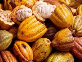 cameroon-cocoa-farm-gate-price-grew-to-xaf1-200-from-xaf1-100