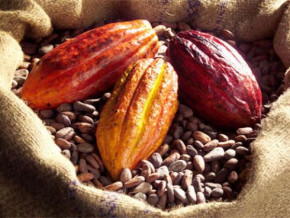 cameroon-this-season-cocoa-production-could-be-higher-than-that-of-the-last-season-ccc-reveals