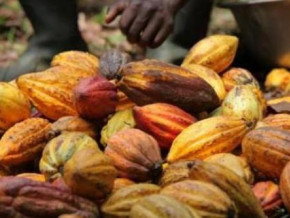 cameroon-cocoa-farm-gate-price-exceeds-xaf1-000-per-kg-as-wet-season-approaches